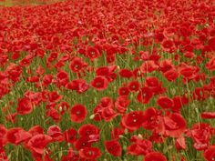 In Flanders fields the poppies blow ♥