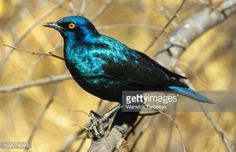 Red-shouldered glossy starling Starling, Birds, Red, Animals, Animaux, Bird, Animales, Common Starling, Animal
