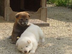 Rolly polly shiba inu puppies