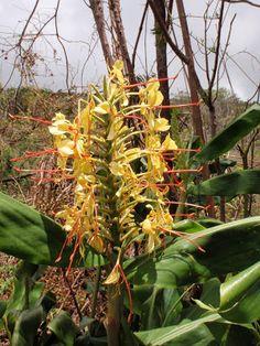 Ginger lilies ('longose'), Ilet Alcide