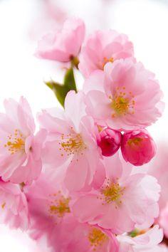 Sakura Tree Wallpaper Spring 66 Ideas For 2019 Cherry Blossom Wallpaper, Sakura Cherry Blossom, Cherry Blossom Flowers, Blossom Trees, Flower Tree, Tree Wallpaper, Flower Wallpaper, Spring Wallpaper, Amazing Flowers