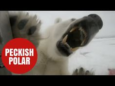 Polar bear attacks on humans: Implications of a changing climate | Watts Up With That?  Likely has little to do with fraudulent climate change and more to do with the bear population that is higher than in the 50's