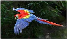 Resultado de imagem para Scarlet Macaw