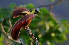 """Un símbolo de la diversidad de la fauna ecuatorial son las """"aves del paraíso"""" que habitan en la selva de Nueva Guinea"""