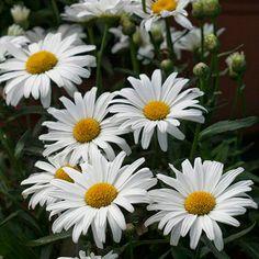 Daisy May Shasta Daisy - Momma's favorite