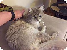 HILLSBORO, OR - Himalayan. Meet FUZZY, a cat for adoption. http://www.adoptapet.com/pet/15638982-hillsboro-oregon-cat