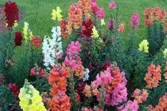 Not only do snapdragons pose no threats to cats, dogs, horses, they attract butterflies. Herbal Uses In ancient times, the snapdragon was thought to protect a person against the working of a witch and was commonly used to ward off witchcraft activity. The leaves of the snapdragon are said to have bitter and stimulant properties, Brews made from this common snapdragon were used as herbal tonics for ulcers and tumors.