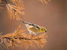 "A male American Goldfinch in his winter plumage perches on a pine branch getting ready to take flight. This lovely songbirds resting branch is only for a moment before he appears to be saying ""On Your Mark, Get Set, Fly!""  ""On Your Mark...-American Goldfinch"" © by Christy Cox Photography - the beauty of nature"
