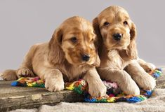 """""""Which one of us do you think is cuter?""""...Click here to see these cuties>>> http://www.fundogpics.com/cute-cocker-spaniel-pictures.html"""