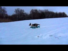 Cardigan Corgi brings up his own sled to go down the hill. This makes me happy.