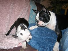 boston terrier | Boston Terrier Wallpapers, Pictures & Breed Information
