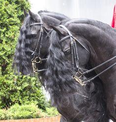 Konie fryzyjskie (FRYZY)