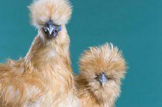 Silkie Bantams: small eggs, regular layers, sweet-natured