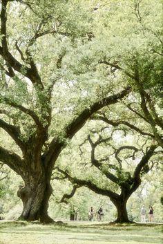 Majestic oak trees lining the Audubon Park   New Orleans