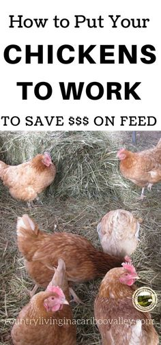 Chickens can help weed, eat bugs, break up manure...all kinds of things. Here's how to put those chickens to work! #chickens #farming #country