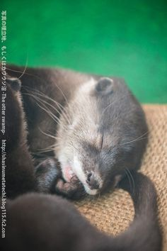 Otter Pup Naps Nibbling on His Paw