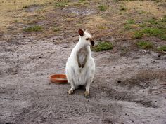 Albino Pademelon Tasmania is one of the most incredible places in all of Australia.  My wife and I were lucky enough to have the chance to spend a couple of weeks camping and hiking around the island and really enjoyed ourselves.  The dramatic landscapes, robust wildlife, lush foliage, and nice people all made for a holiday we will always remember.    Pictures from our holiday around the island can be viewed at the below link:   on-walkabout.com/2010/06/tasmania-holiday-journal/