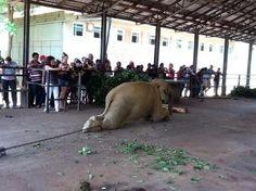 Improve animal welfare at the Pinnawala Elephant Orphanage, Sri Lanka! PLEASE SIGN : http://www.yousign.org/en/pinnawala-orphanage