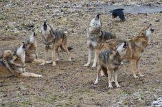 Group Howl