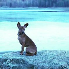 Lykke, the dog from Frozen? #dog #winter #snow #valp #hund #puppy #minpin #miniaturepinscher #dvergpincher #frozen
