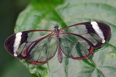 Behold The Beauty Of The Glasswinged Butterfly