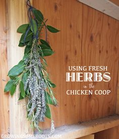 Fresh herbs to make your chicken coop smell great AND keep pesky insects away!