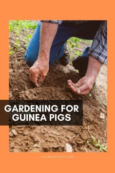 Making your garden plans? Don't forget to include space for plants for your guinea pig    Find out how you can garden for your guinea pig   Can we grow our own veggies for guinea pigs   Growing in container Vs Growing in your yard   What supplies will we need to start growing food for our guinea pig   How long will it take to grow   What are the benefits of growing own food for guinea pigs   Easy to grow vegetables and herbs for guinea pig   #gardeningforpets #gardening #guineapig… Guinea Pig Food, Guinea Pig Care, Guinea Pigs, Easy Vegetables To Grow, Veggies, Outdoor Metal Plant Stands, Pig Facts, Grow Bags