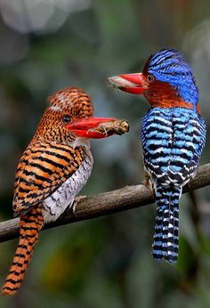 A couple of Banded KINGFISHERS-Thailand - I think of the Creator as a great costume designer, where his most beautiful works are the birds. Pretty Birds, Beautiful Birds, Animals Beautiful, Cute Animals, Funny Animals, Kinds Of Birds, All Birds, Love Birds, Exotic Birds