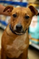 Clementine is an adoptable Hound Dog in Cumming, GA. Clementine is a pretty Hound mix with an estimated DOB of 11-15-11.  Clementine is a super sweet, mellow cuddle bug. It has been very easy to soc...