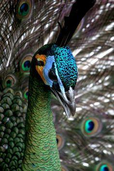 El pavo real cuelliverde (Pavo muticus) Existe considerable variación en el plumaje del cuello y pecho, algo que puede estar relacionado con la edad y el sexo.