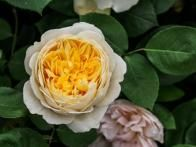 'Charlotte' is packed with numerous small yellow petals surrounded with a few layers of ivory white petals. It has a medium-strong Tea Rose scent and is one of the hardiest roses. ~ David Austin Rose