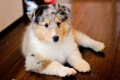 Blue Merle Rough Collie puppy ~ Highland Meadow Collies ~ http://www.highlandmeadowcollies.com