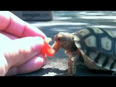 Kevin the turtle tries to eat a tomato.