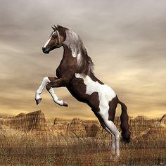 Awesome Rearing Wild Dark Brown Mustang Paint Stallion.