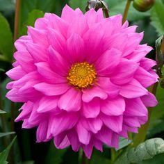 Rare Flowers, Flowers Nature, Exotic Flowers, Amazing Flowers, Beautiful Flowers, Dahlia Flowers, Blossom Garden, Blossom Flower, Birthday Wishes Flowers