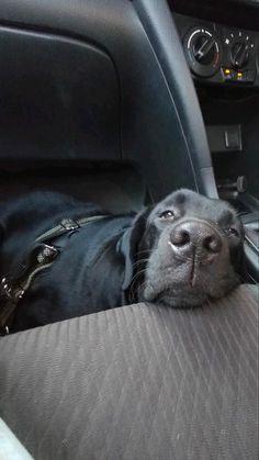 Black Labs Dogs, Black Labrador Dog, Yellow Lab Puppies, Labradoodle, Labrador Retriever, Art Projects, Pets, Animals, Warm