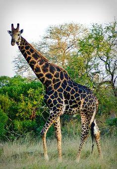 Giraffe in Krueger National park South Africa safari travel