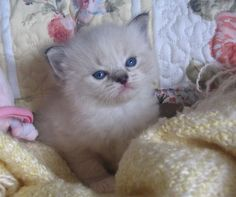 http://www.ragdollcatstexas.com/ragdoll-adoptions.html #ragdolls #ragdollkittens