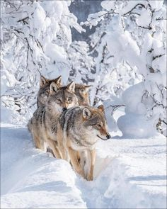 Wolf Photos, Wolf Pictures, Beautiful Wolves, Animals Beautiful, Image Avion, All About Wolves, Animals And Pets, Cute Animals, Fear Of Love