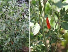 Typical plant and fruits of Acrata hot pepper - La pianta e i peperoncini rossi e neri tipici dell'Acrata
