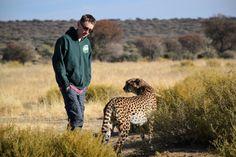 Cheetah Walk at N/a'an ku sê Lodge outside Windhoek, Namibia.