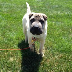 Introducing Mooska, a 4-month-old Shar Pei puppy.