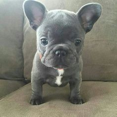 Blue frenchie <3
