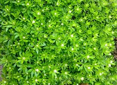 5 Unique Herbs That Are Easy to Grow and Useful In The Garden Sweet Woodruff, Backyard Paradise, Shade Garden, Gardening Tips, Perennials, Bath And Body, Herbs, Cocoa, Easy