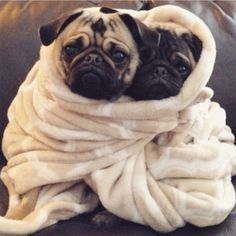 Baby Pug Puppies snuggled up together to keep warm