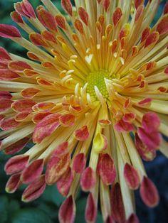 ✯ Chrysanthemum 'Matchsticks'