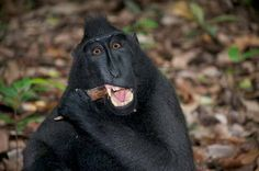 A toothsome fellow in the Tangkoko National Park, Indonesia. Photo: Dave Bretherton.