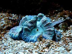 Blue ocean coral (aquaviews.net)