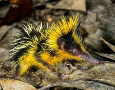 Madagascar's Lowland Streaked Tenrec.... is it just me.. or does he look like a hedgehog who belongs at a rave!?