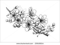 stock-vector-apricot-blossom-hand-drawing-259108514.jpg (450×338)